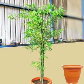 Live Bamboo Plant 1.5m Height in Nice Plastic Pot