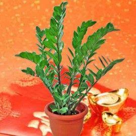 Money Tree (Zamioculcas Zamifolia)